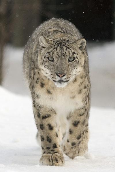 Chelsea Caravaggio Leopardo-de-las-nieves2
