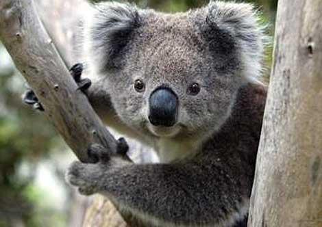 Esto hace que la evolucion de Q Come El Koala