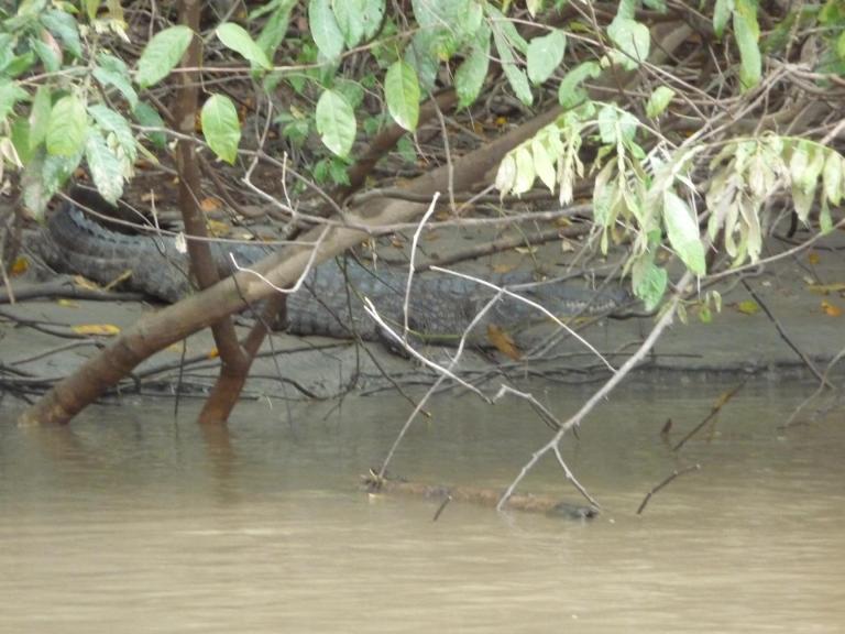 Caiman negro en el Guayabero